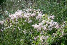 Canada Thistle (Cirsium Arven...