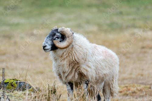 Scottish Blackface Sheep, Isle of Skye Scotland, United Kingdom Poster