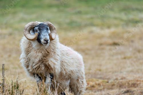 Scottish Blackface Sheep, Isle of Skye Scotland, United Kingdom Canvas Print