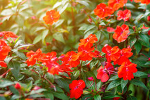 Beautiful Red Impatiens Flowers In The Garden,Impatiens Red Busy.