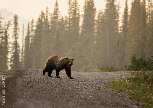 Grizzly Bear crossing the road Fototapeta