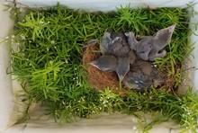 Blue Jay Chicks