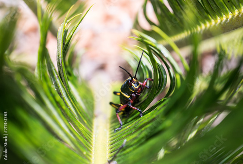 Fotografija  A young Eastern Lubber Grasshopper on the leaves of a Sago Palm tree