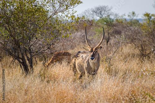Tuinposter Antilope Antelope, Waterbuck (Kobus ellipsiprymnus), Kruger National Park, South Africa
