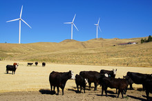 Black Angus Cattle With Windmills