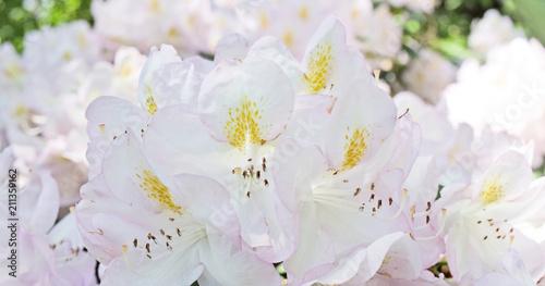 Foto op Canvas Azalea White azalea flowering in the garden took from close-up. Romatic.
