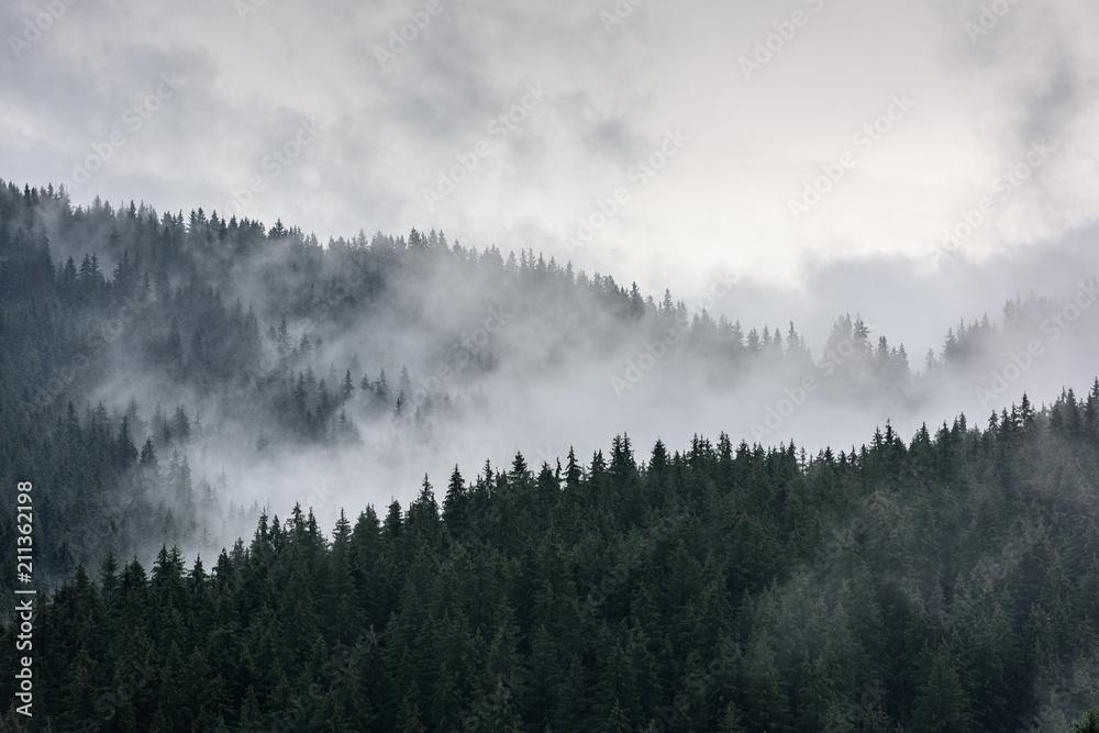 Foggy Pine Forest. Dense pine forest in morning mist.