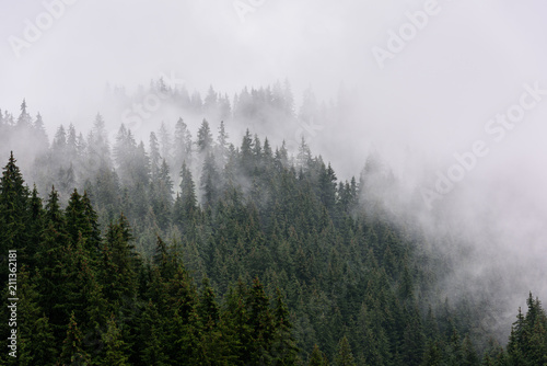 Poster Morning with fog Foggy Pine Forest. Dense pine forest in morning mist.