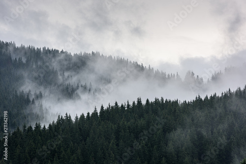 Foggy Pine Forest. Dense pine forest in morning mist.