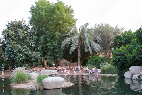 Pink flamingos shore of pond natural habitats. Copy space.