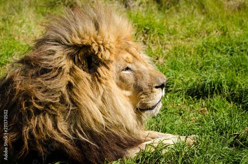 Staande foto Leeuw Lion male portrait closeup, Kruger National Park, South Africa