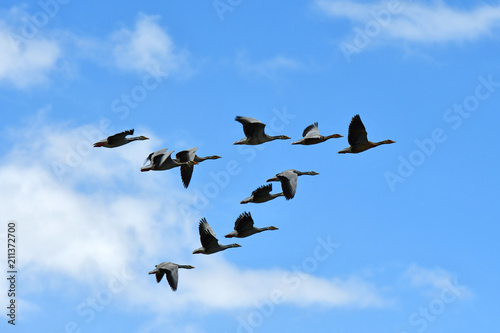 China, Tibet, a Wedge of grey geese in the sky above lake Manasarovar
