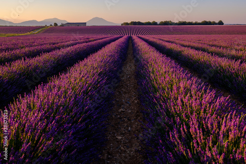 In de dag Crimson Champ de lavande avec des arbres et montagnes en arrière-plan. Lever de soleil. Plateau de Valensole, Provence, France.