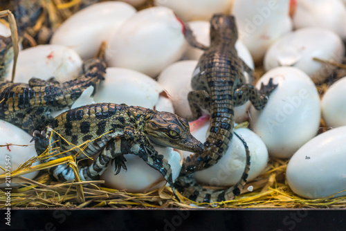 New born Crocodile baby incubation hatching eggs or science name Crocodylus Porosus lying on the straw