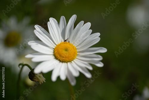 In de dag Madeliefjes flowers