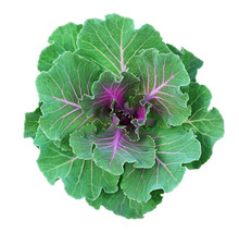 Ornamental Kale In Green And P...