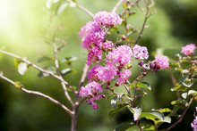 Crape Myrtle Flower Pink Color On The Tree And Nature Green Background.