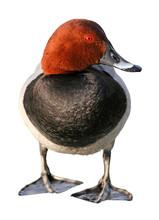 Pochard Duck  Aythya Ferina, O...