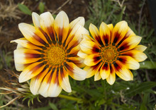 Two Yellow And White Flowers