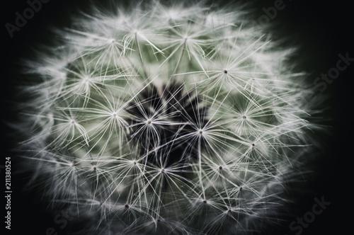 Tuinposter Macrofotografie white dandelions macro shot
