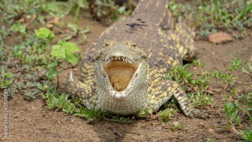Door stickers Crocodile Krokodil an einem Flussufer in Afrika