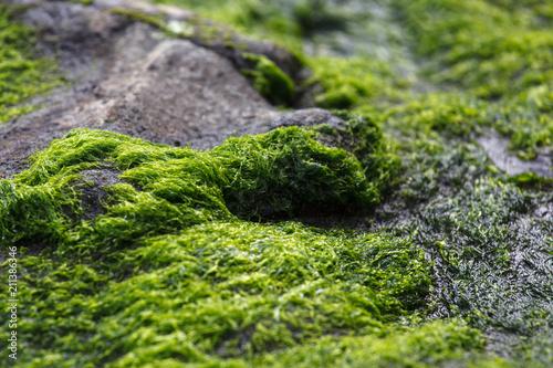 Fotografie, Obraz  Green Moss, Seaweed Macro Image