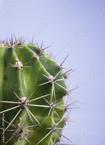 Poster Cactus Close Up of A Spiky Cactus Plant with Plain Background