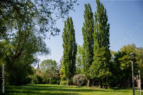 Fotografie, Obraz  Parc avec des peupliers à l'orée du village avec son clocher