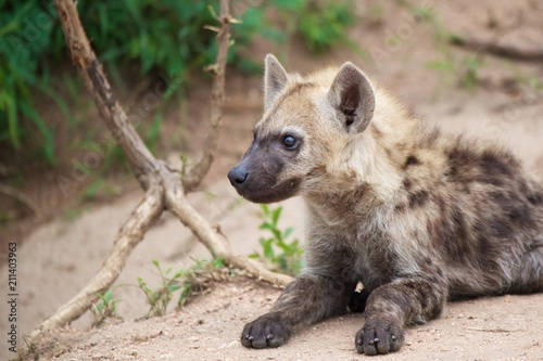 In de dag Hyena baby hyena waiting for mother africa