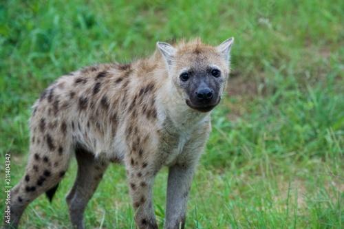 Foto op Aluminium Hyena baby hyena african safari