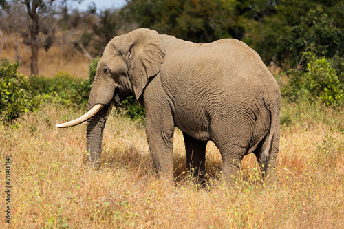 Foto op Aluminium Olifant Large African bull elephant (Loxodonta africana), Kruger National Park, South Africa.