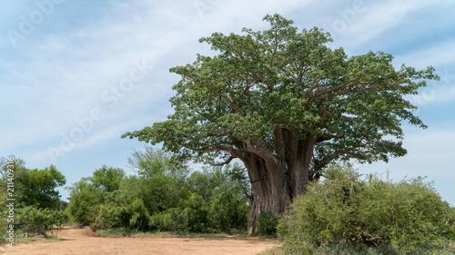 Keuken foto achterwand Baobab Afrikanischer Affenbrotbaum in einem Nationalpark in Südafrika