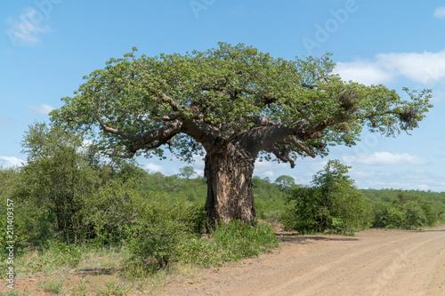 In de dag Baobab Afrikanischer Affenbrotbaum in einem Nationalpark in Südafrika