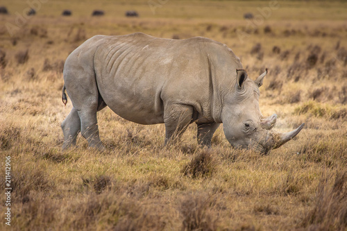 Poster Neushoorn African Rhinoceros. Rhinoceros in the African savannah. Old Rhin