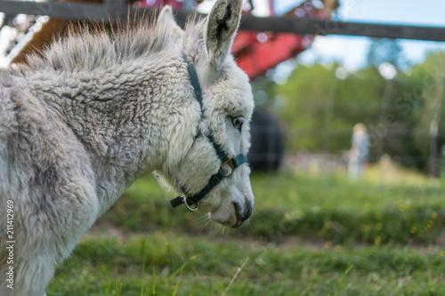 Poster Ezel White baby donkey relaxing in the Sunset at 4H Görvelns slott Järfälla Stockholm Sweden