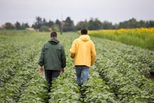 Farmers Walking In Soybean Field