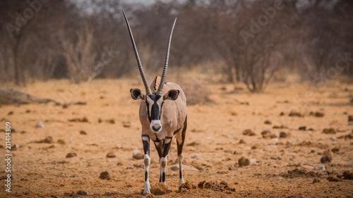 Tuinposter Antilope Female oryx antelope in Etosha national park