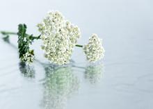 Yarrow Herb Flower On Glass Background. Organic Medicinal Plant.