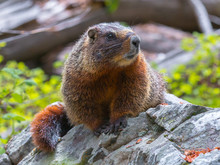 """Curious Yellow-bellied Marmot (aka """"rock Chuck"""") Posing On A Boulder In Northwestern Wyoming, USA"""