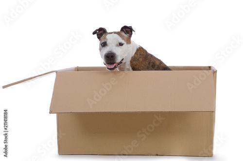 Fotografía  chien senior de race american Staffordshire terrier dans caisses en carton