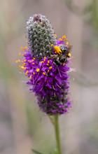 Small Bee On Purple Prairie Clover