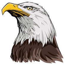 Bald Eagle On White / Illustra...
