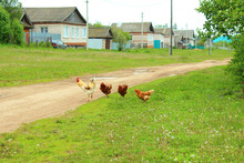 A Rooster With Chickens Walking Outside In The Village. Countryside. Landscape.