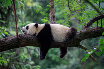 FototapetaLazy Panda Bear Sleeping on a Tree Branch, China Wildlife. Bifengxia nature reserve, Sichuan Province.