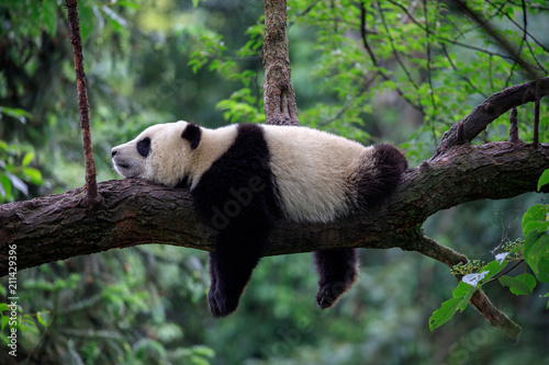 Spoed Foto op Canvas Panda Lazy Panda Bear Sleeping on a Tree Branch, China Wildlife. Bifengxia nature reserve, Sichuan Province.