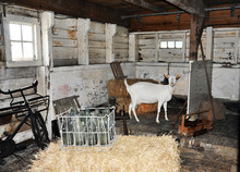 Goat In The Barn Is About Hay,...