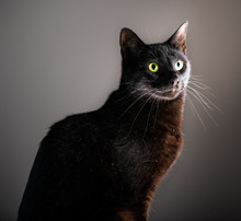 A Dignified Black Cat With Yellow Green Eyes Sits For A Portrait Against An Isolated Gray White And Black Background