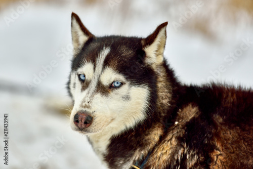 Photo Siberian  Alaskan Malamute ,Husky dog outdoors