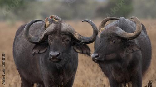 Staande foto Buffel african cape buffalo, Africa