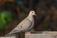 Mourning Dove Bird